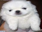 本犬舍直销 纯种京巴犬 疫苗齐全签协议包纯种健康