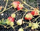 椒江区采摘草莓乐趣,享受真正牛奶味草莓