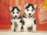 绵阳 纯种哈士奇幼犬 疫苗齐全出售中 可签协议健康保障