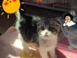 美短折耳猫 宠物 幼猫高地折耳活体宠物折耳猫幼猫纯