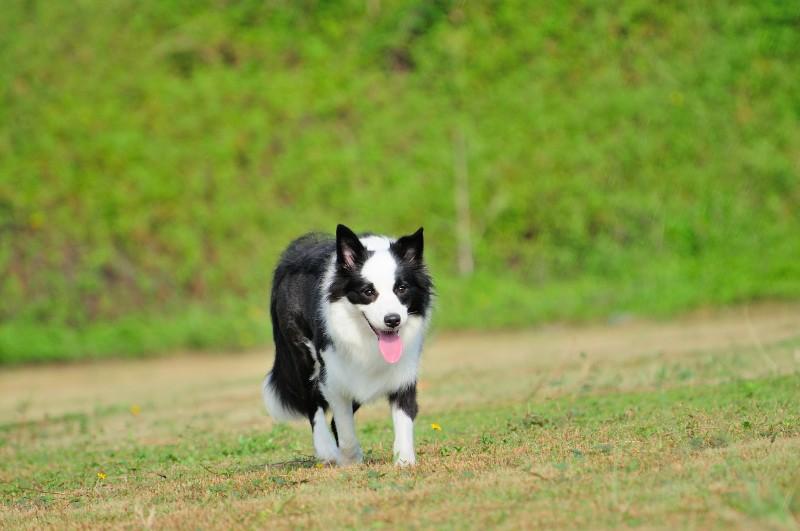 纯种边境牧羊犬 100%健康纯正 亲民价格