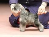 佛山哪里有卖雪纳瑞犬 找纯种雪纳瑞幼犬 选广东旺驰犬舍
