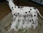 苏州那里有斑点狗卖 苏州斑点狗价格 苏州斑点狗多少钱