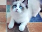 高品质布偶蓝双,海双,山猫纹DDMM都有,品相超赞