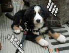 家养纯种伯恩山犬便宜出售了 喜欢的可以加我详聊