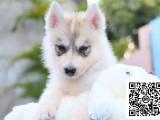 纯正健康哈士奇犬出售-幼犬出售,当地可以上门挑选