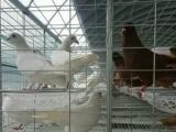 优质观赏鸽、肉鸽种鸽、元宝鸽等养殖,品质保证,价格优惠