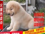 CKU认证犬业纯种健康金毛幼犬3月包退换-信誉最好