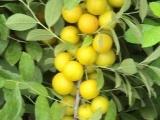 新品钙果苗,山西农大钙果,中华钙果种植技