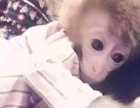 宠物猴!袖珍石猴