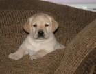 泉州哪有拉布拉多犬卖 拉布拉多价格 泉州拉布拉多犬多少钱