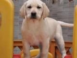 重庆拉布拉多犬多少钱 重庆哪里出售拉布拉多犬