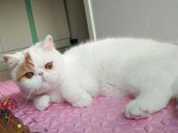 出售斯芬克斯猫 毛幼猫