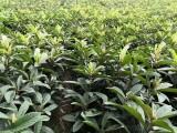 哪里可以买到枇杷苗,云南嫁接枇杷苗,枇杷挂果大树