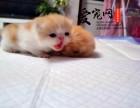 纯种波斯猫基地 上海爱宠网品牌猫舍 多只挑选