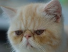 个人家养公母异短 加菲猫宝宝 家养非猫舍 浦东 包