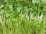 合肥萝卜苗栽培技术 山东益康园在线指导欢迎与我们联系