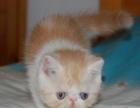 淄博懒加菲繁育猫舍只出售自家繁育的纯种加菲猫
