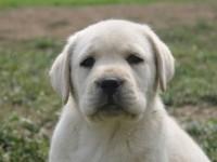 上海专业低价出售 拉拉 比熊泰迪 巴哥 博美雪纳瑞犬品种齐全