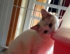 来自家养布偶猫海豹双色幼猫妹妹6月15日出生