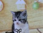 美短加白美短宠物猫纯种银虎斑美短加白幼猫纯种美短2