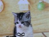 美短加白美短宠物猫纯种银虎斑美短加白幼猫纯种美短美