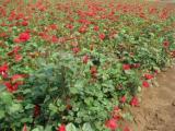 蔷薇月季哪里有-想要品种好的月季就来晨歌花卉苗木