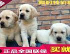 重庆纯种拉布拉多 幼犬三个月 包纯种 品相论价
