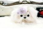 哪里有犬舍卖纯种马尔济斯犬价格武威马尔济斯图片