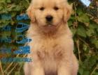温顺的寻回犬金毛,赛级品质,签协议,健康血统有保障