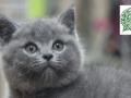 高品质蓝猫宝宝快双满月了 找靠谱爸妈