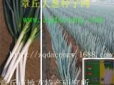 日本晚抽大葱种 井冈晚抽 井冈一本日本钢葱种日本铁杆大葱种子