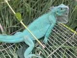 蓝蜥蜴出售中