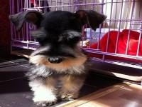 苏州雪纳瑞犬一本地养殖狗场一直销各种世界名犬 常年售卖