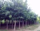 湘潭30公分合欢树价格低实惠