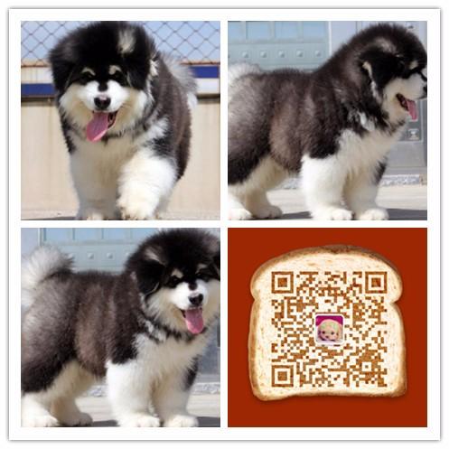 杭州哪里有宠物店 杭州哪里出售纯种阿拉斯加