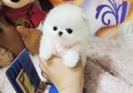揭阳狗场解散 博美犬等二十多种宠物狗 500元 起售