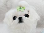烟台哪里有出售马尔济斯犬幼犬的 纯种马尔济斯犬幼犬多少钱一只