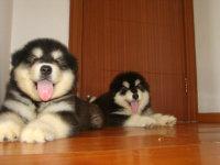 高品质赛级直系 红色 阿拉斯加雪橇犬幼犬 诚信直销