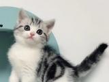 广西美国短毛加白猫全国包邮