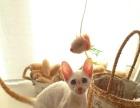 高品质红虎斑暹罗猫 东短血统 暹罗中间体