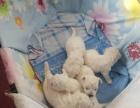 自家养棉花糖比熊宝宝出售