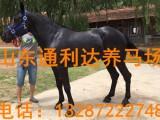 一匹五岁的半血马多少钱一匹?2018年马匹价格 山东养马场