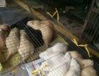 农家养殖刺猬海狐鼠大量出售