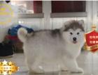 冠军后代双血统阿拉斯加一窝 证书可查可以看狗父母