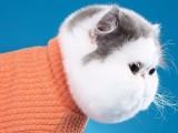 纯种异国短毛猫大脸加菲猫幼崽包子脸波斯猫幼猫