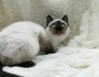 高品质挖煤工暹罗猫健康质保出售