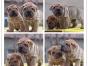 本地犬舍出售纯种沙皮 双血统带证书