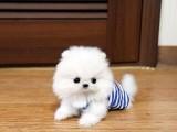 自家养一窝宠物狗博美出售 喜欢可少 真心爱狗者领养
