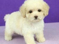 超微小茶杯泰迪犬-保证纯种健康